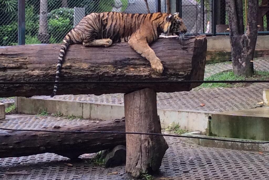 tiger in Tiger Kingdom Chiang Mai Thailand