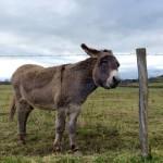 Donkey, in Burgundy, France