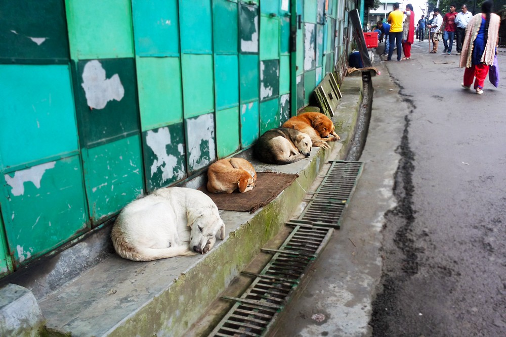 Dogs in Kasauli, India - Moving to India. Story of Agate