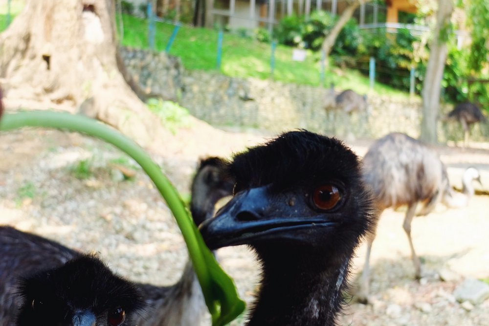 Baby ostrich in Kuala Lumpur Bird park
