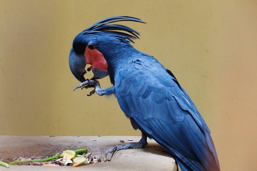 Blue parrot in Kuala Lumpur Bird park