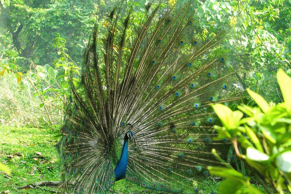 Peacock walking in Kuala Lumpur Bird park