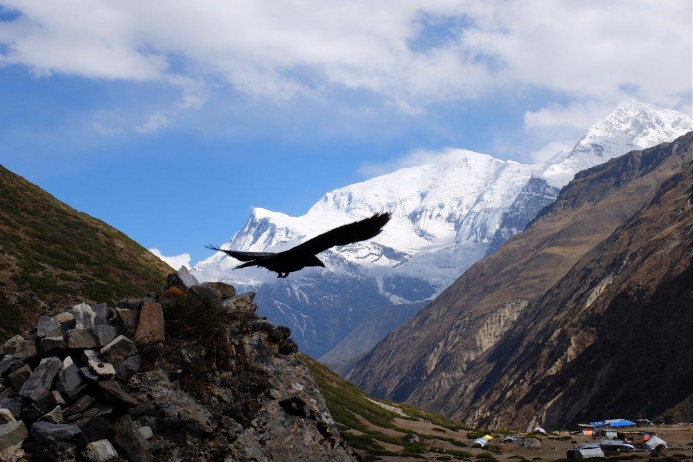 Raven - Annapurna circuit trek