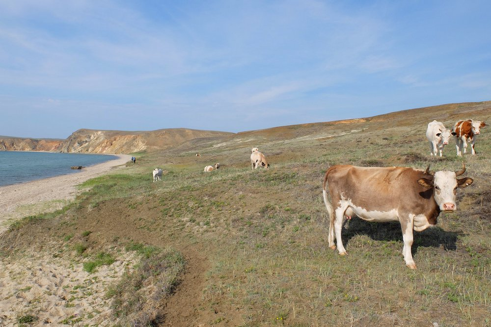Cows on Olkhon island