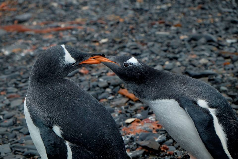 Penguins in Antarctica - Why go to Antarctica