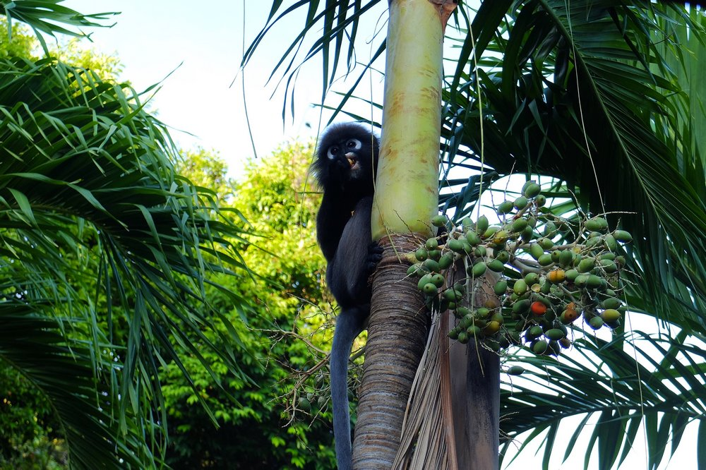 Dusky leaf monkey - Volunteering in Malaysia
