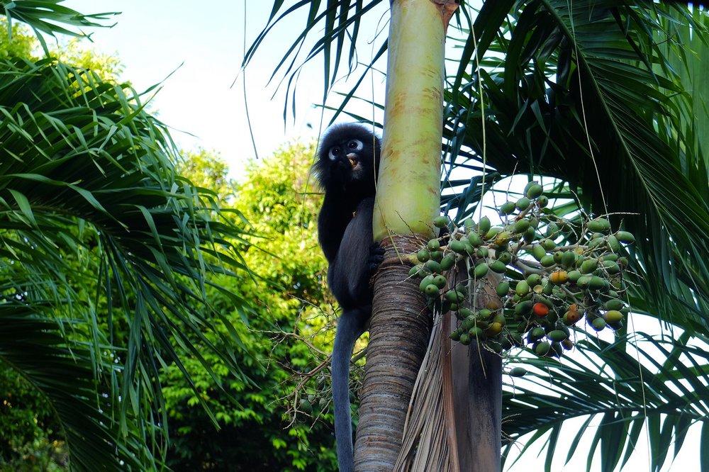 Dusky leaf monkey - Volunteering in Malaysia
