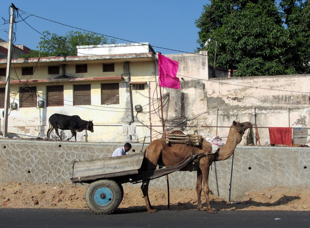 Camel carriage in Pushkar, India