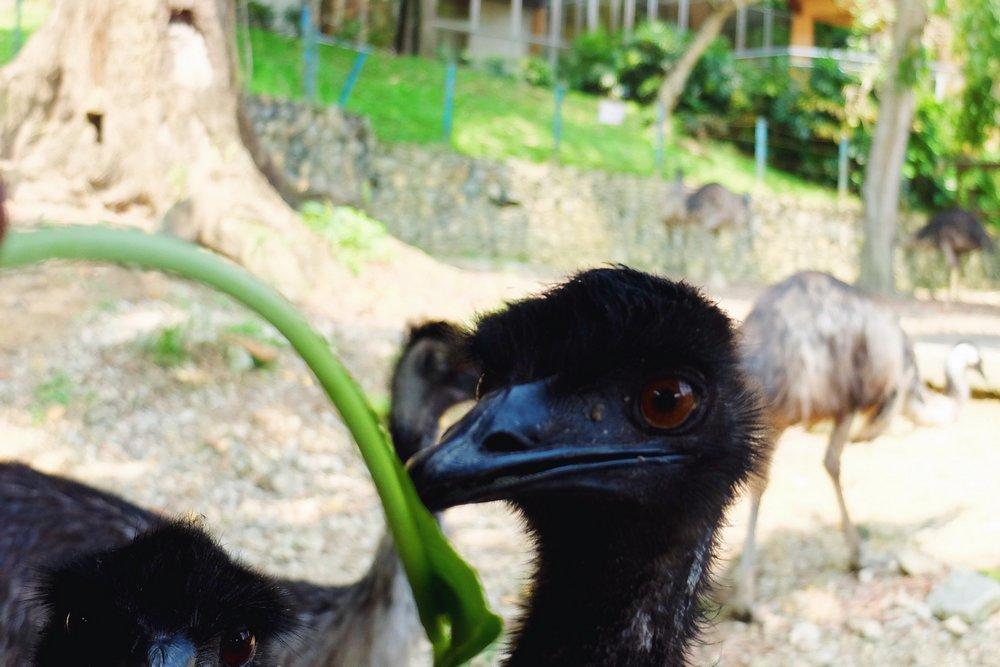 A baby ostrich in Kuala Lumpur Bird park