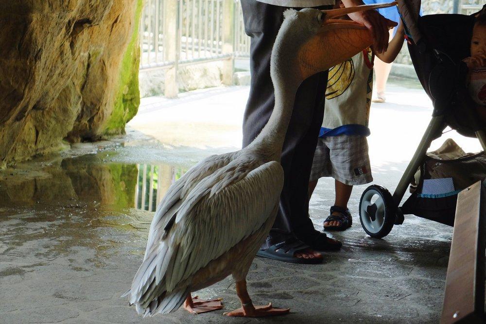 A pelican in Kuala Lumpur Bird park