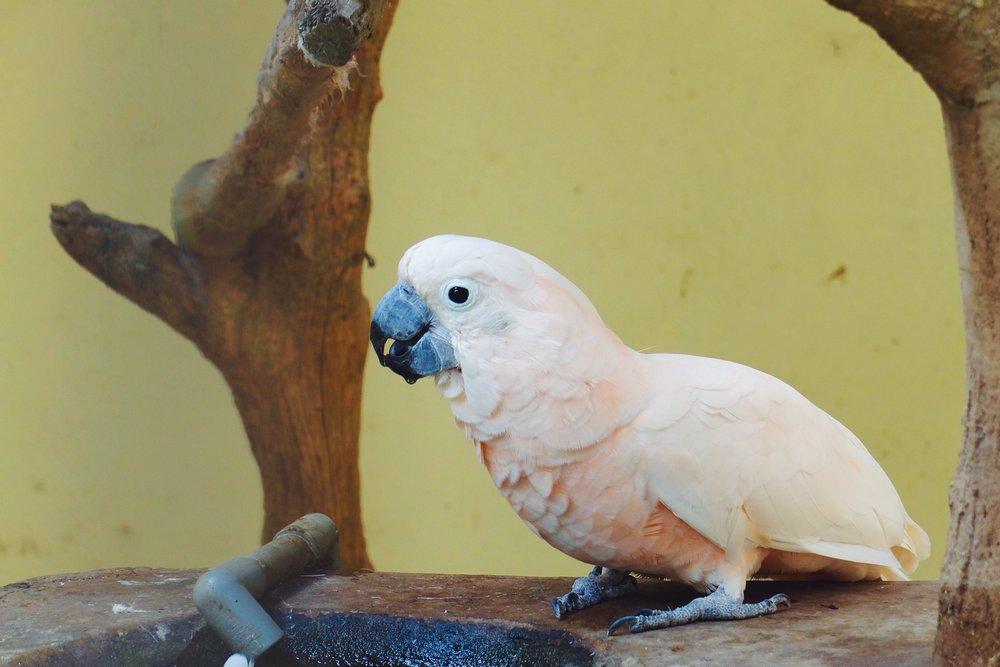 A pink parrot in Kuala Lumpur Bird Park