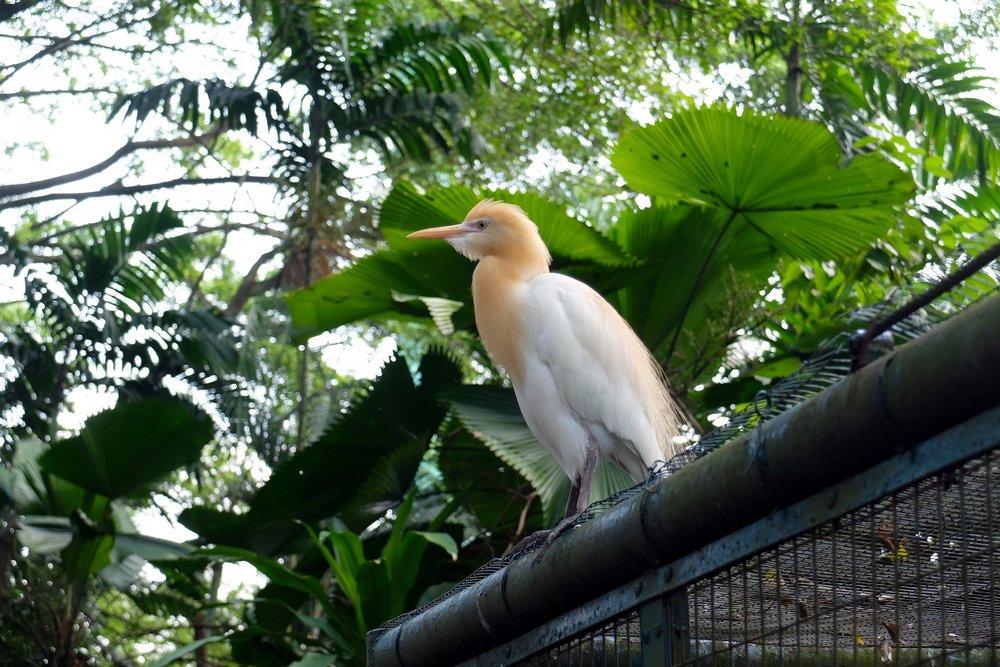 A large white bird in Kuala Lumpur Bird park, Malaysia