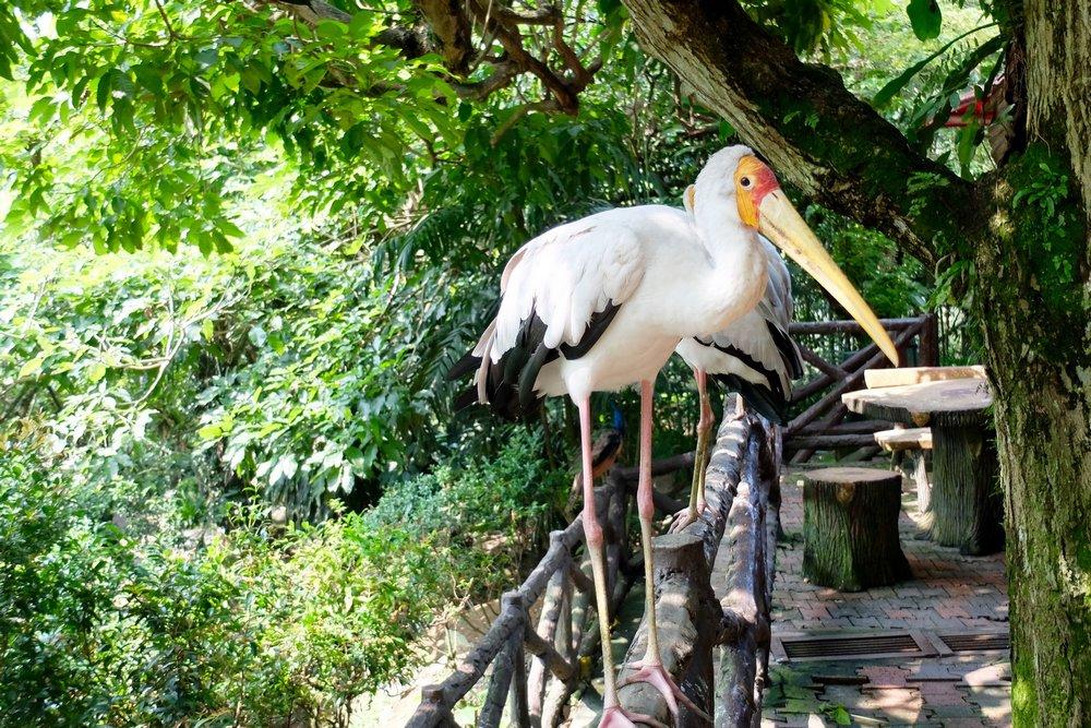 A white stork in Kuala Lumpur Bird park