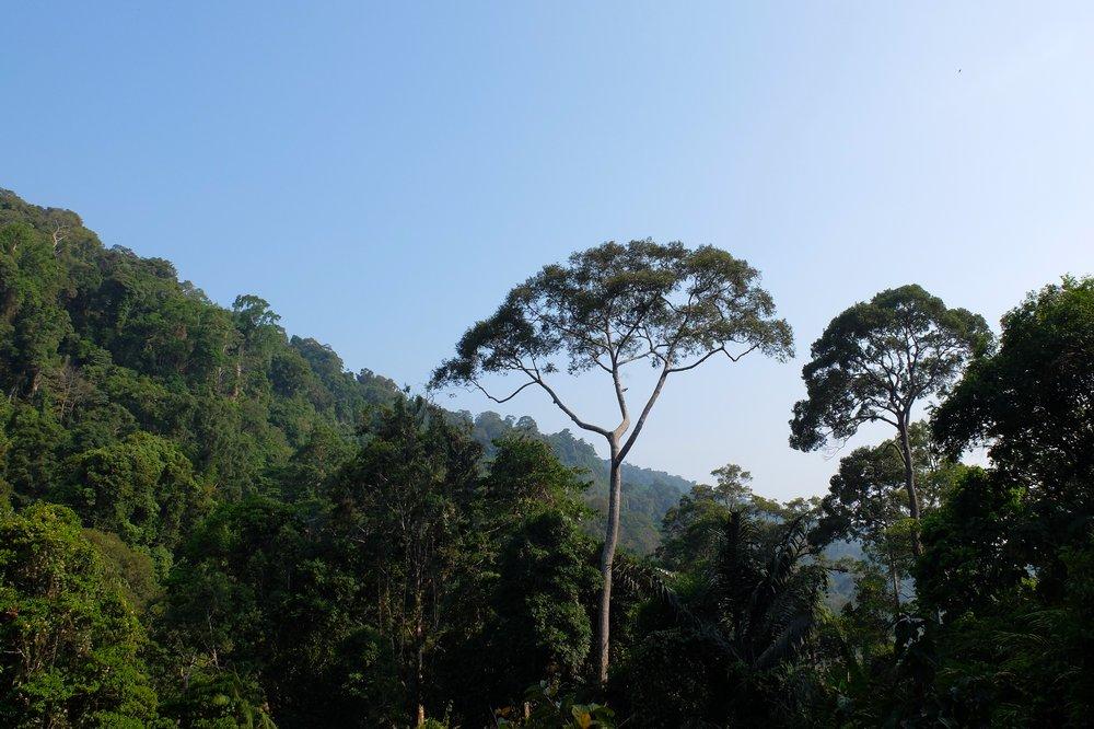Trees in a jungle - Gunung Raya, Langkawi