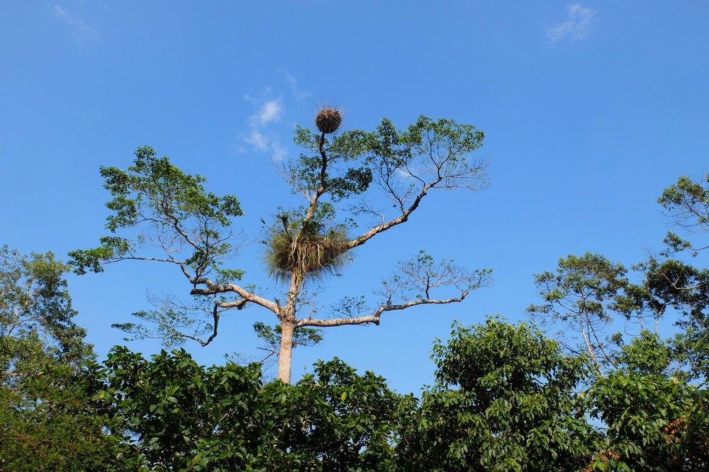 A bird nest on a tree - Gunung Raya, Langkawi