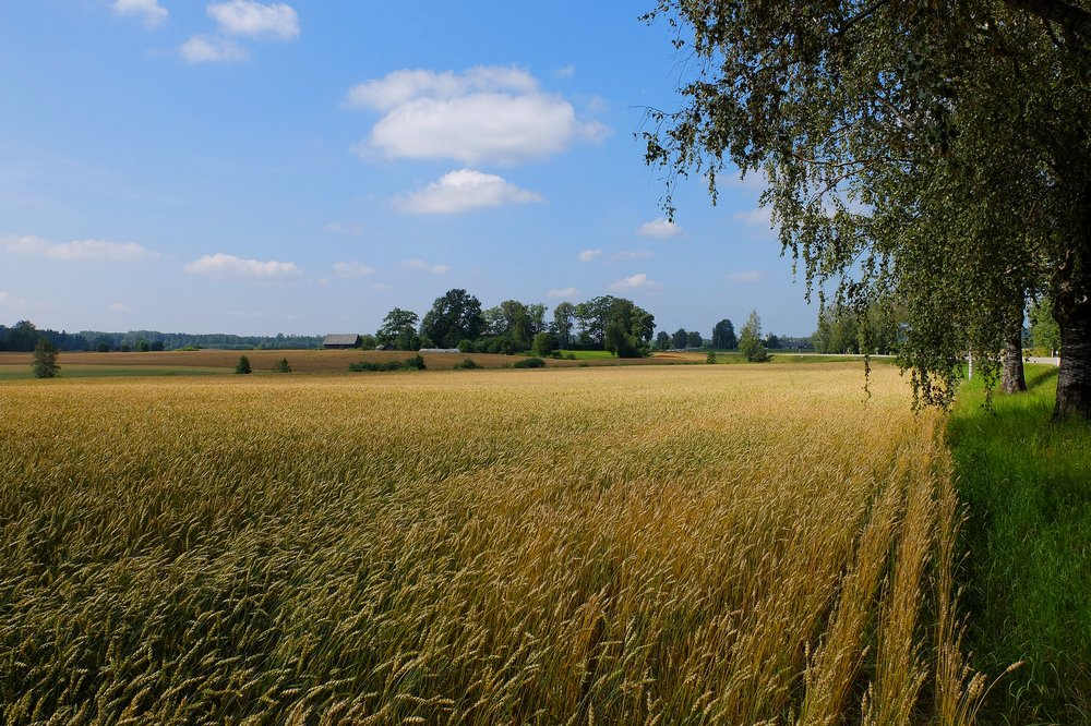 Rye field in Latvia