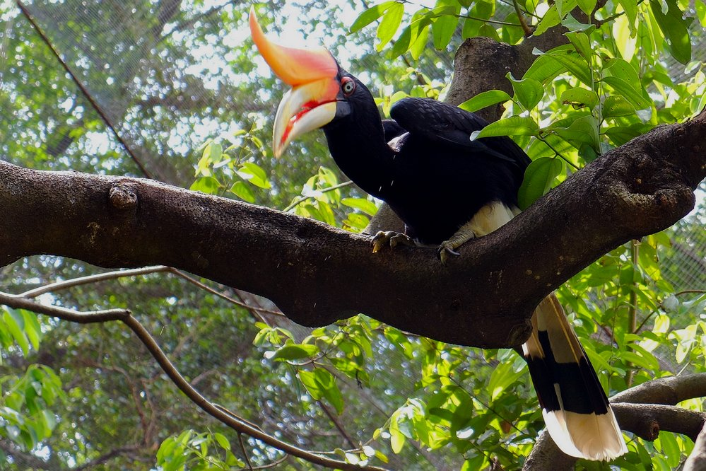 Best places to visit in Kuala Lumpur, hornbill in KL Bird park