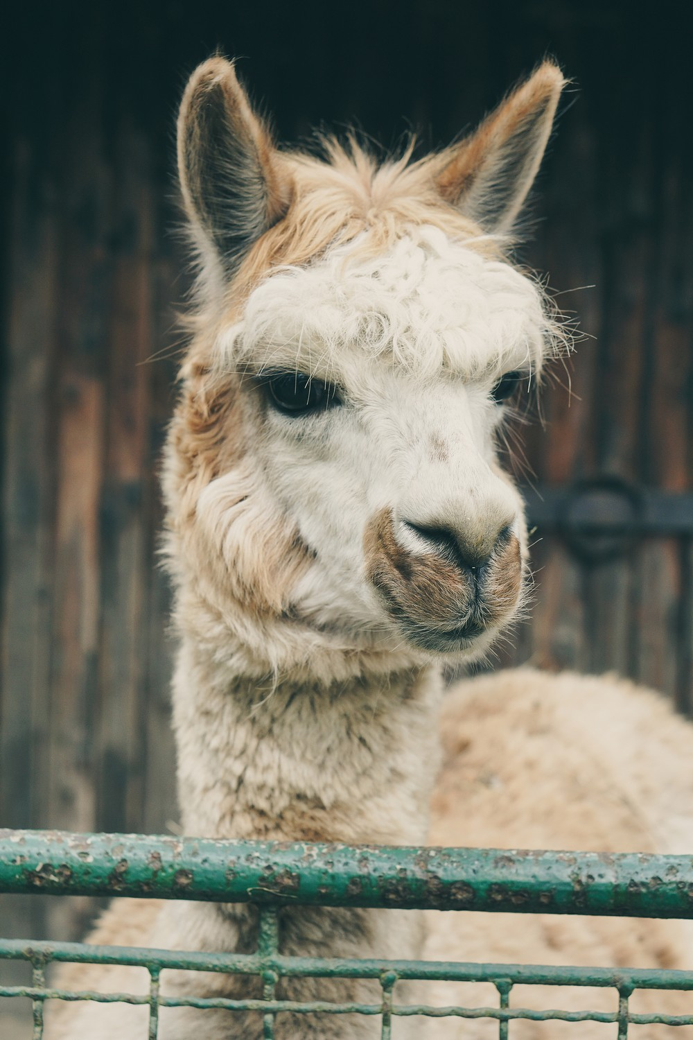 Llama - Top Things to Do in Latvia