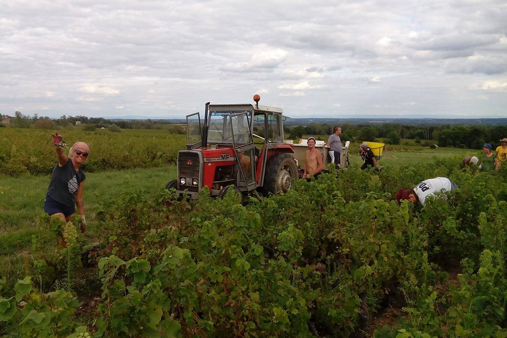 Grape picking in Reimes, France - Making Money While Traveling