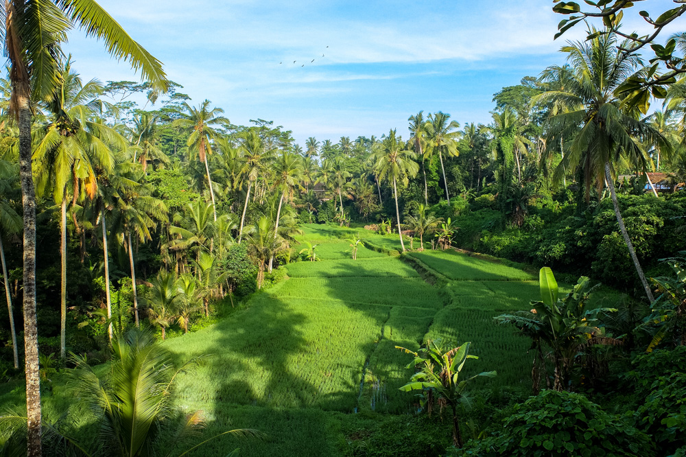 RIce field in the jungle, near Ubud, Bali