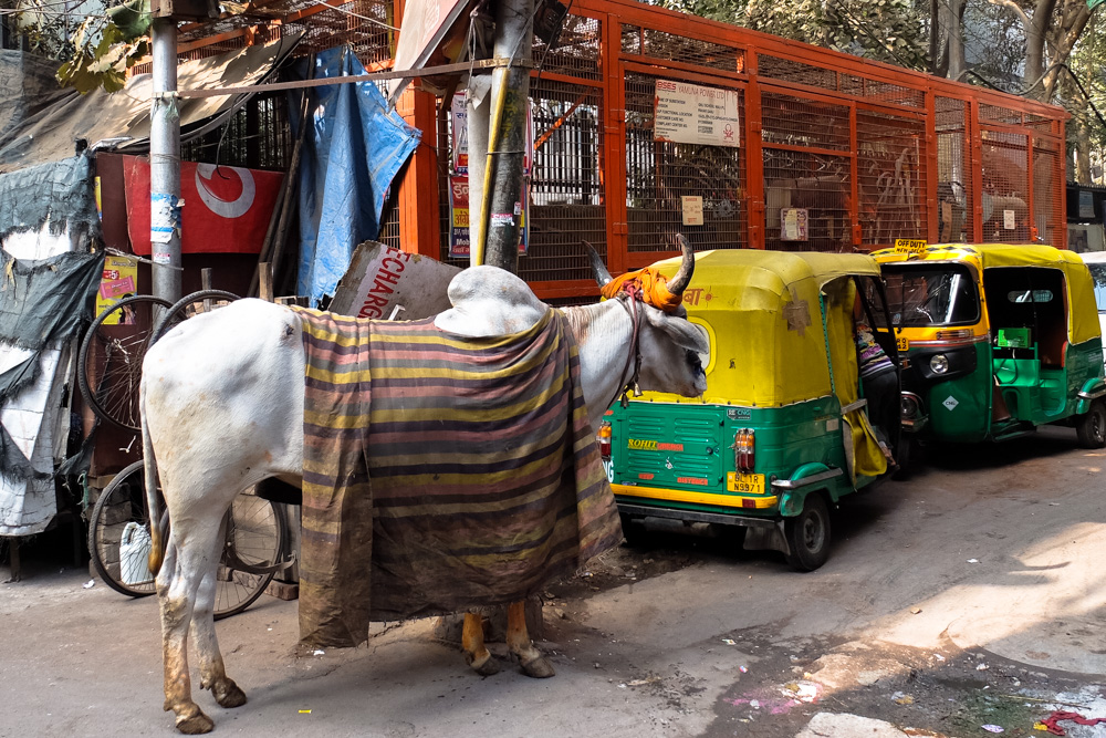 A cow and tuk tuks in Delhi, India - Overland Journey in India