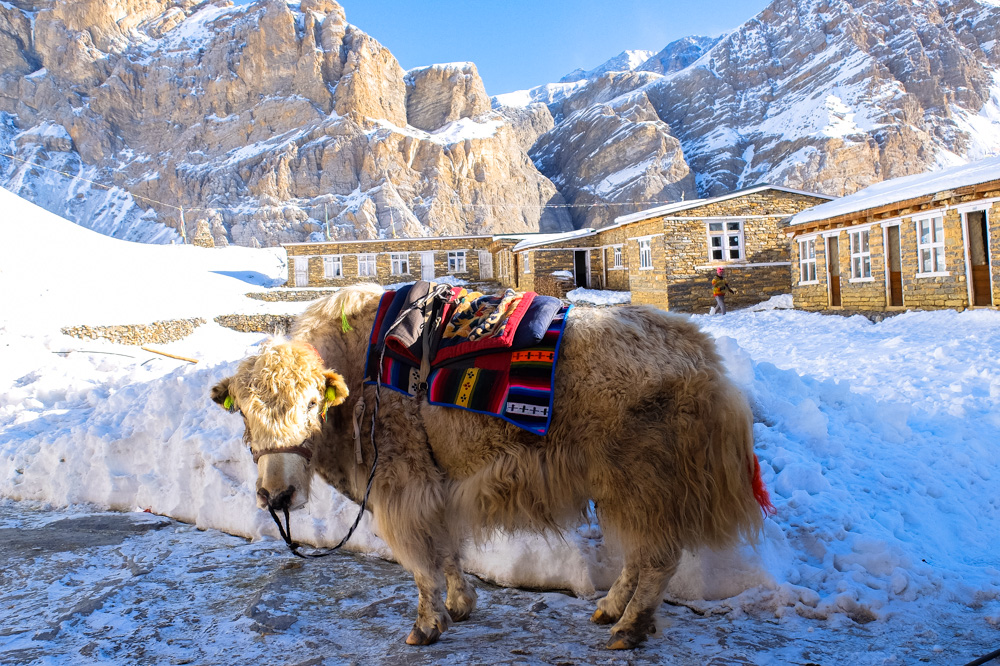 A yak at High Camp - Annapurna Circuit Photos