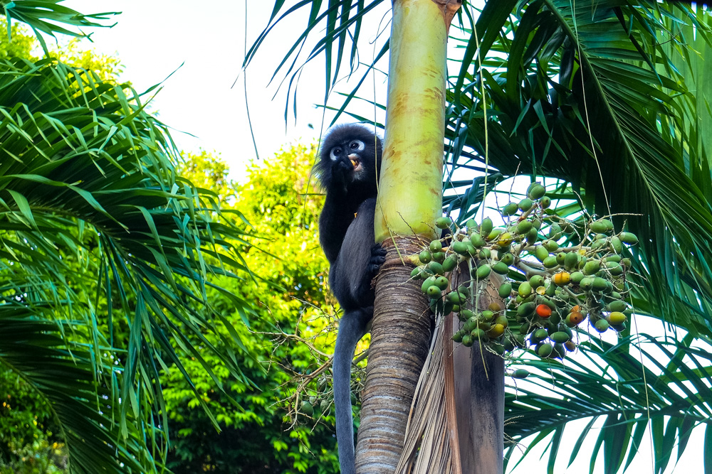 Dusky leaf monkey in Langkawi - Best Things to Do in Langkawi