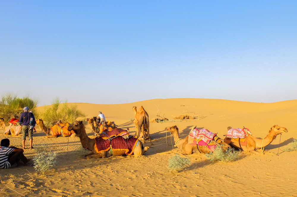 Camels resting in the desert, in India - 4 Weeks in India