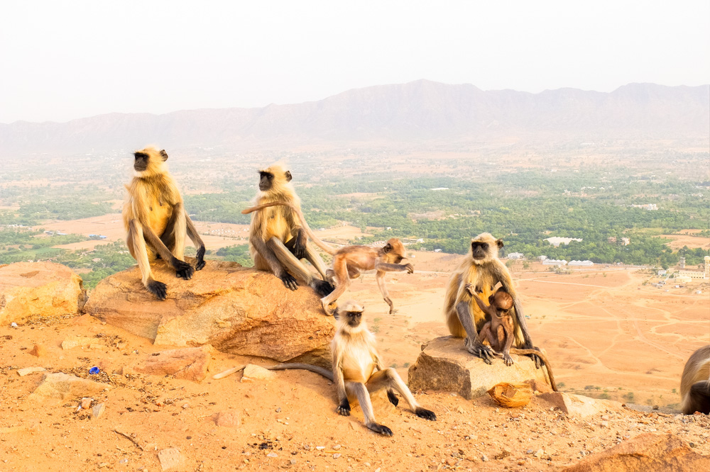 Monkeys in Pushkar - 4 Weeks in India