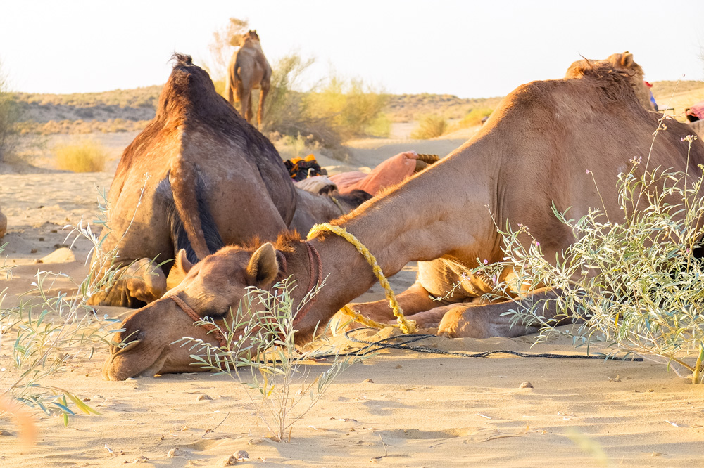 Camel sleeping - Our Jaisalmer Desert Safari Experience