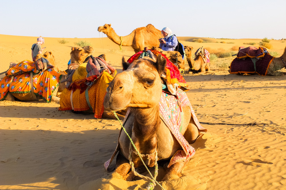 Camels lying on the ground - Our Jaisalmer Desert Safari Experience
